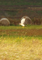 FNH (S. J. Coates Images) Tags: wolfeisland hawk northern harrier birdofprey raptor