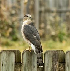 Cooper's Hawk (mahar15) Tags: birds outdoors birdofprey wildlife hawk coopershawk nature