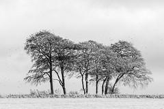 Autumn Trees with Starlings (stevedewey2000) Tags: wiltshire salisburyplain landscape trees treescape charltonclumps clump copse blackandwhite monochrome bw desaturated dxofilmpack dxo sony70400g autumn autumnal