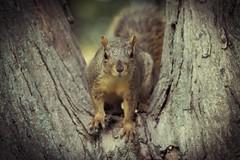 Squirrel, Cantigny Park. 86 (EOS) (Mr. Mega-Magpie) Tags: canon eos 60d nature wildlife outdoors squirrel tree cantigny park wheaton dupage il illinois usa america