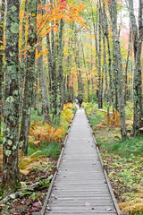 Jessup Path Acadia (MichellePhotos2) Tags: red jessup path acadia maine boardwalk tree trees birth fall autumn color acadianationalpark park bog boggy whitebirchforest forest hemlockroad parklooproad marsh wetland deciduous colorful leaves sony rx100