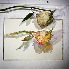 Day 1548.  The #rose #painting for today. #watercolour #watercolourakolamble #sketching #stilllife #flower #art #fabrianoartistico #hotpress #paper #dailyproject (akolamble) Tags: rose painting watercolour watercolourakolamble sketching stilllife flower art fabrianoartistico hotpress paper dailyproject