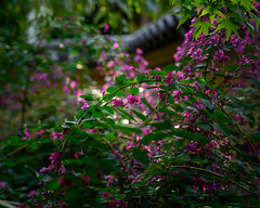 Lespedeza (shinichiro*) Tags: 東京都 日本 20191027ds24191 2019 crazyshin nikonz6 z6 nikkorz2470mmf4s october autumn tokyo japan jp candidate 49009284773
