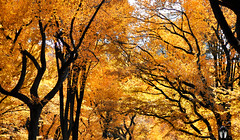 (Kylee Vincent Photography) Tags: centralpark nyc ny newyork yellow fall autumn tree trees bright leaves kyleevincent kyleeuliano kyleevincentphotography nikon nikond90 d90 primelens 50mm f14 fstop14 orange warm cozy themall literarywalk new york empire state kylee ulianokylee vincent photographyfallautumnnew usa unitedstatesofamerica america view art photography architecture city buildings building history historic empirestate vacation trip walk 2019 october oct manhattan icon iconic uliano tall canopy silhouette
