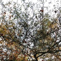 autumn tangle (vertblu) Tags: trees autumn autumncolours autumncolouring autumnfoliage autumnlight lookingup twigs tangle tangled patterning vertblu abstractfeel abstractstyle abstractsquared almostabstract fall fallish autumnal bsquare 500x500 kwadrat naturschutzgebiet naturepreserve preservearea preservationarea nsgwittmoor wittmoorhamburgschleswigholsteingermany moor bog