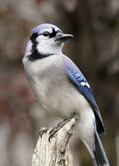 _A993810 (mbisgrove) Tags: bluejay bird a99ii a99m2 ontario blue canadian northern sal70400g2 sony wings jay