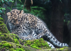 Both together (muppet1970) Tags: colchesterzoo amurleopard cubs leopard captive zoo bigcat