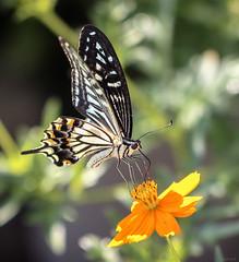 swallowtail butterfly (Christine_S.) Tags: canoneosm5 ef100mmf28lmacro nature closeup japan butterflies orangecosmos flowers papilioxuthus asianswallowtail ngc npc