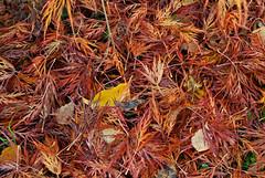 autumn windfall (sure2talk) Tags: autumnwindfall leaves maple acer garden autumn windfall nikond60 nikkor1855mmf3556afs 119picturesin2019115windfall
