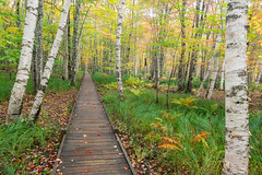 Jessup Path Acadia (MichellePhotos2) Tags: jessup path acadia maine boardwalk tree trees birth fall autumn color acadianationalpark park bog boggy whitebirchforest forest hemlockroad parklooproad marsh wetland deciduous colorful leaves nikon d850 nikond850 prime 35mm