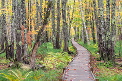Jessup Path Acadia (MichellePhotos2) Tags: jessup path acadia maine boardwalk tree trees birth fall autumn color acadianationalpark park bog boggy whitebirchforest forest hemlockroad parklooproad marsh wetland deciduous colorful leaves nikon d850 nikond850