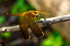 Orange Dragonfly (Lr Home) Tags: a6000 macro sel30m35 nature insect lrhome ©2019ローレンス dragonfly