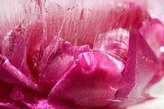 Rose in Ice - Explored November 4, 2019 (Sandra Mahle) Tags: naturephotography nature flowers plants ice frozen canon canonphotography rose pink explore ngysa ngysaex