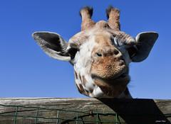 Juste un petit sourire !!! (François Tomasi) Tags: girafe girafa animal françoistomasi 2019