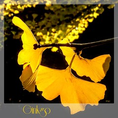 The Glow of the Ginkgo! (Marcia Portess-Thanks for a million+ views.) Tags: ojasdoradas ojas lanaturaleza nature photo photography fall otoño autumn fallcolours park vancouver stanleypark closeup sunshine goldenglow leaf leaves tree plant ginkgobiloba marciaportess marciaaportess map theglowoftheginkgo