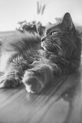 Artistocat (flashfix) Tags: november022019 2019inphotos flashfix flashfixphotography ottawa ontario canada nikond7100 28mm kitty nose fyero nebelung ragamuffin ragdoll fluffy gray cat light natural watching monochrome blackandwhite