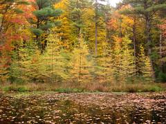 Tamaracks (Bruces 51) Tags: whiting forest dow gardens midland michigan pond tamaracks