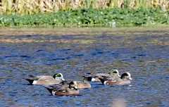 American Wigeon (Cappy0161) Tags: american wigeon