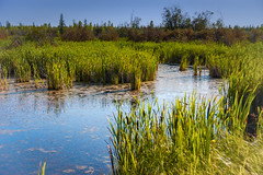 Peace Country Marsh (Bracus Triticum) Tags: peace country marsh アルバータ州 alberta canada カナダ 8月 八月 葉月 hachigatsu hazuki leafmonth 2019 reiwa summer august