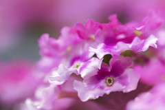 la vie en rose (rockinmonique) Tags: flower bloom blossom petal small tiny mybackyard pink macro bokeh moniquewphotography canon canont6s tamron tamron45mm copyright2019moniquewphotography