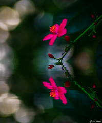 Jatropha Integerrima (Ken Mickel) Tags: artistic artisticeffects beautiful fineart floral flower flowers jatropha jatrophaintegerrima kenmickelphotography plants bokeh botanical closeup mirrorimage nature photography photoshop