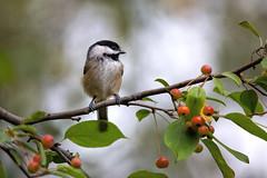 Sitting Pretty (dshoning) Tags: bird chickadee fall perched crabapples tree