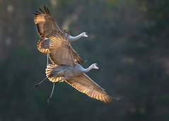 Sandhill crane migration (overthemoon3) Tags: crexmeadows sandhill fall migration wildlife