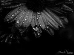 Last of the Flowers (Brian D' Rozario) Tags: brian19869 briandrozario nikon d750 flower macro closeup water droplet droplets drop drops autumn season shower rain rainfall weather climate bnw bw blackandwhite grayscale greyscale nature winter chilly chill darktones silver metallic