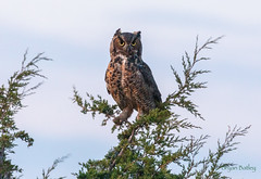 Great Horned Owl (bbatley) Tags: bird wildlife owl greathornedowl
