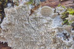 Valge hammik; Irpex lacteus; Maitohampikka (urmas ojango) Tags: seened fungi polyporales torikulaadsed irpicaceae irpex hammik valgehammik irpexlacteus maitohampikka