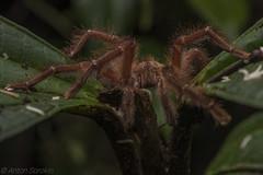 Unidentified tarantula (antonsrkn) Tags: tarantula spider arachnid eyelevel macro brown nature wildlife invertebrate invert ecuador cloudforest wild hairy