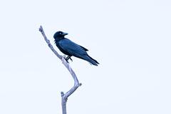 Glistening Black (armct) Tags: corvustasmanicus crow raven forestraven corvus tasmanicus currumbincreek queensland australia native indigenous bird black glistening contrast sky early morning alert claws stark