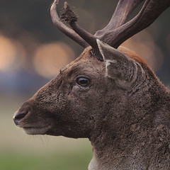 Buck (andy_AHG) Tags: wildlife autumn stag fallowdeerbuck antlers animals nikond300s yorkshire