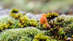 Fungus - 7653 (✵ΨᗩSᗰIᘉᗴ HᗴᘉS✵81 000 000 THXS) Tags: fungus mushroom champignons nature sony sonydscrx10m4 macro bokeh belgium europa aaa namuroise look photo friends be yasminehens interest eu fr party greatphotographers lanamuroise flickering