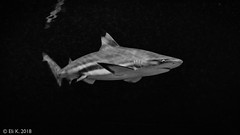 Jerusalem Aquarium (kitchener.lord) Tags: israel jerusalem aquarium impressions 2018 fujinonxf1855 blackwhite animals shark