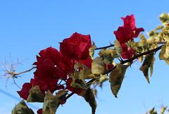 Καλημέρα! ~ Good morning! :-) (Argyro Poursanidou) Tags: bougainvillea flower nature red sky colorful βουκαμβίλια φύση κόκκινο autumn φθινόπωρο
