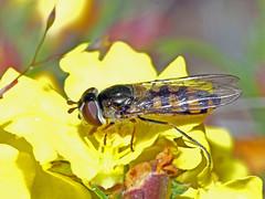 Hoverfly Melangyna viridiceps (Simon Grove (TMAG)) Tags: tasmania tmagzoology tasmanianmuseumandartgallery insecta diptera syrphidae melangynaviridiceps
