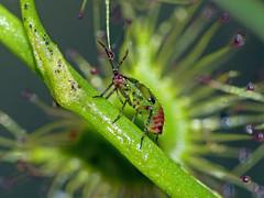 Nymph of sundew-bug Setocoris species (Simon Grove (TMAG)) Tags: tasmania tmagzoology tasmanianmuseumandartgallery insecta hemiptera miridae setocoris