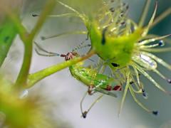 Sundew-bug Setocoris species (Simon Grove (TMAG)) Tags: tasmania tmagzoology tasmanianmuseumandartgallery insecta hemiptera miridae setocoris