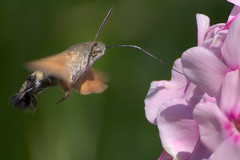 a Hummingbird Hawk-moth in flight (1/3) (Franck Zumella) Tags: dragonfly butterfly libellule papillon bleu rouge sphinx colibri moth vol fly flying wing wings sphynx animal nature insect fast green orange vert rapide flower fleur morosphinx caillelait macroglossum stellatarum moro hummingbird hawkmoth