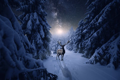 Winter Landschaft Nacht und Hirsch (Gruenewiese86) Tags: brocken eckerloch harz schnee wald winter winterlandschaft winterwald deer silhouette snowflake night card christmas illustration animal blue design vector background forest landscape tree christmasbackground fairy magic midnight moon moonlight reindeer calligraphy claus drawing fantastic greeting image looks merry seasonal shape silence sleigh up winterbackground wonderland xmas year abstract blizzard calm cartoon december february fir flight fly january harzmountains composing composite