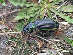 Frog-eating ground-beetle Catadromus lacordaire (Simon Grove (TMAG)) Tags: tasmania tmagzoology tasmanianmuseumandartgallery insecta coleoptera carabidae catadromuslacordairei