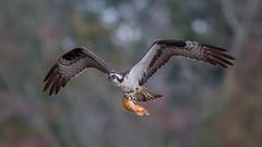 Osprey  0080 (Paul McGoveran) Tags: bif bird birdinflight hendrievalley nature nikon500mmf4 nikond500 nikond850 osprey wings coth5