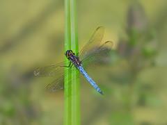 20190727_123c (novofotoo) Tags: insekten keeledskimmer kleinerblaupfeil libelle natur orthetrumcoerulescens tiere animals dragonflies insects