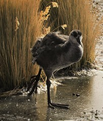 Immature Giant Coot, high in the Andes Mountains (Ruby 2417) Tags: giant coot bird wildlife nature waterfowl chile andes volcan putana marsh bog wetland wetlands ice frozen wilderness rare rarity life lifer