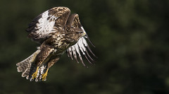 Wonderous nightmare's (Ann and Chris) Tags: awesome fly flying buzzard close spectacular raptor impressive majestic predator birdofprey stunning wild