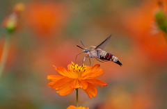 Hummingbird hawk-moth (Changer4Ever) Tags: hummingbirdhawkmoth nikon d750 7003000mmf4056 moth insect animal wild wildlife flying wings macro closeup dof depthoffield bokeh flower nature color colorful