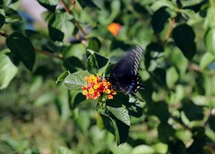 butterfly kiss (MoparMadman63) Tags: butterfly insect busy flutter flower leaf colorful nature sunshine fall lantana
