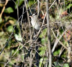 White-crowned Sparrow_8827_00001-001 (Henryr10) Tags: miamieriehistoriccanal gilmoremetropark gilmorepondspreserve hamiltonoh preserve usa ohio zonotrichialeucophrys zonotrichia whitecrownedsparrow bird avian sparrow vogel ibon oiseau pasare fågel uccello tékklistar wcsp