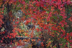 who's behind the fence ? (majka44) Tags: fall leaves colors nature autumn light dog animal 2019 day nice fun atmosphere fence foliage october leaf orange red green garden